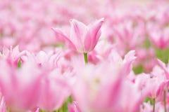 许多桃红色郁金香在庭院里 图库摄影