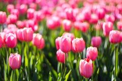 许多桃红色郁金香在阳光下 免版税图库摄影