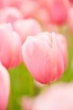 许多桃红色郁金香开花在春天 库存图片