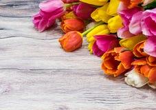 许多桃红色郁金香花束染黄红色和白色和桃红色 图库摄影