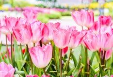 许多桃红色郁金香花 免版税库存照片