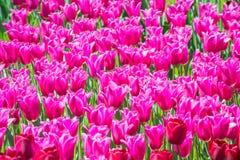 许多桃红色郁金香 免版税库存图片