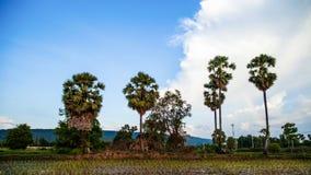 许多棕榈树。 免版税库存照片