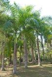 许多棕榈树 库存图片