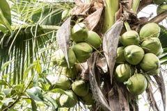 许多椰子的孩子 免版税库存照片