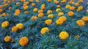 许多橙色万寿菊在城市 股票视频
