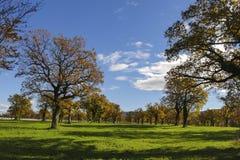 许多橡树在晴天 免版税库存图片