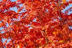 许多欧洲花楸在红色10月颜色离开 图库摄影