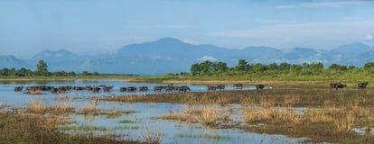 许多水牛在湖,大大小全景 库存图片