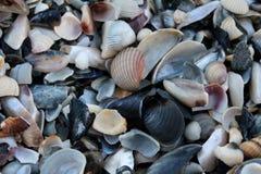 许多海扇壳 免版税图库摄影