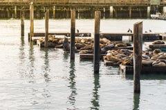许多海狮在码头39晒日光浴在旧金山美国 库存图片
