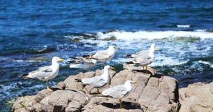 许多海鸥坐岩石 库存照片