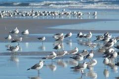 许多海鸥 免版税库存照片