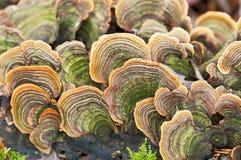 许多火种真菌 免版税库存图片