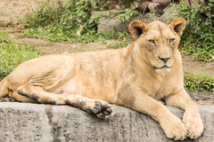 许多狮子在森林里 免版税库存照片