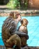 许多猴子在水池游泳,吃戏剧并且取暖在阳光下,热带 免版税库存图片