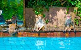 许多猴子在水池游泳,吃戏剧并且取暖在阳光下,热带 库存图片