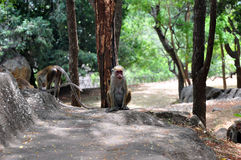 许多猴子 免版税库存照片