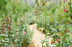 许多玫瑰在庭院里 免版税图库摄影