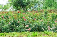许多玫瑰在庭院里 库存图片