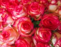 许多玫瑰顶视图与精美桃红色和白色瓣和g的 库存照片