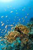 许多珊瑚的鱼礁石 免版税库存图片