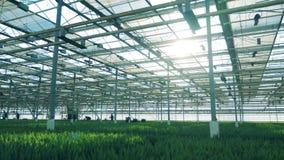 许多生长在行的一间现代玻璃温室的郁金香植物 股票视频