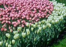 许多白色和桃红色郁金香在公园 免版税库存照片