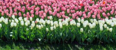 许多白色和桃红色郁金香在公园 免版税图库摄影