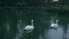 许多白色天鹅和小黑鸭全景  影视素材