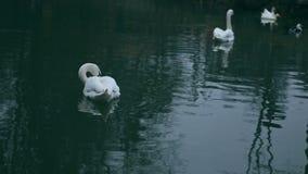 许多白色天鹅和小黑鸭全景  股票视频
