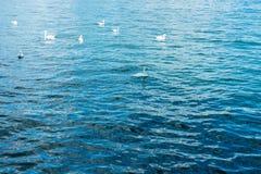 许多白色天鹅游泳在湖 库存照片