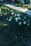 许多白色黄水仙春天开花在公园 春天 在房子附近的庭院里 库存图片