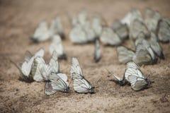 许多白色蝴蝶 库存照片