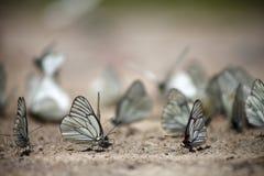 许多白色蝴蝶 库存图片