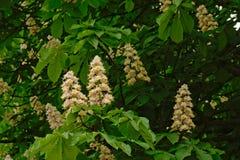 许多白马栗子开花并且生叶-七页树属hippocastanum 免版税库存图片