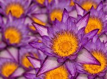 许多的莲花紫色 免版税库存照片