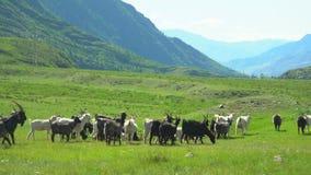许多石山羊在谷去 大横向山山 股票录像