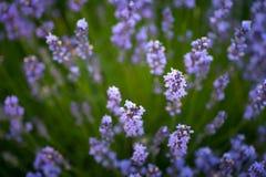 许多秀丽紫色淡紫色在庭院里开花 免版税库存照片