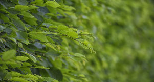 许多稀薄的分支和绿色叶子在生存墙壁 免版税库存图片