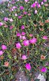 许多粉红色花 免版税库存图片
