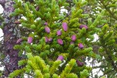 许多紫色冷杉球果在与绿色needl的一棵针叶树垂悬 免版税库存照片