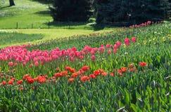 许多红色和桃红色郁金香在公园 免版税库存照片