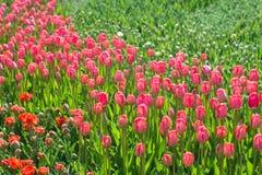 许多红色和桃红色郁金香在公园 免版税库存图片