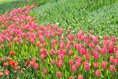 许多红色和桃红色郁金香在公园 库存照片