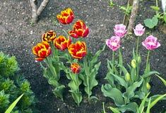 许多红色和桃红色郁金香 免版税库存照片