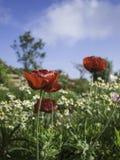 许多红色鸦片开花与菊花,蓝天的领域 库存照片