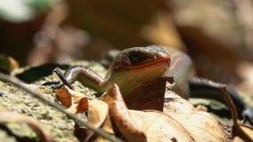 许多线或共同的太阳Skink Eutropis multifasciata在森林里 影视素材