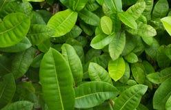 许多绿色叶子在庭院背景中 免版税库存图片