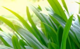 许多绿色蜘蛛百合叶子,美丽绿色的叶子 库存图片